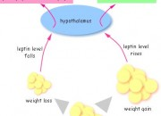A Small Synopsis of what Leptin does
